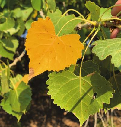 Cottonwood leaf in the Albuquerque bosque on August 26, 2020, practically shouts, It's been too hot and dry, and also promises that fall is on the way. M. Thompson Courtesy photo
